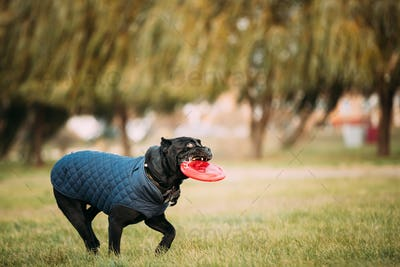 Active Black Cane Corso Dog Play Running With Plate Toy Outdoor In Park. Dog Wears In Warm Clothes
