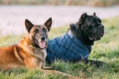 Red Malinois Dog And Black Cane Corso Dog Sitting Together In Grass. Cane Corso Dog Wears In Warm