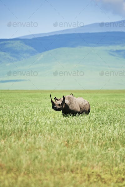 White rhinoceros in the grass