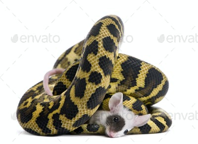 Morelia spilota variegata python, 1 year old, eating mouse in front of white background