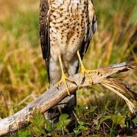 Alert eurasian sparrowhawk facing camera in summer