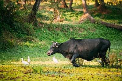 Goa, India. Cow Walking With Little Egrets In Swamp