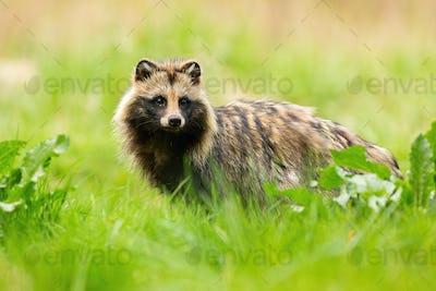 Shy raccoon dog looking away on a meadow in summertime
