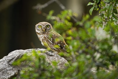 Interested little owl peeking from behind a green branch with leaves