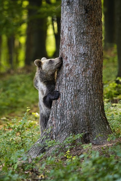 Funny brown bear hiding behind a big tree in forest in springtime