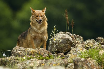 Golden jackal peaking out on horizon of rocky mountains in summer
