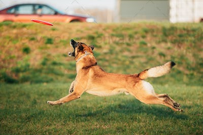 Malinois Dog Play Jumping Running With Plate Toy Outdoor In Park. Belgian Sheepdog Are Active