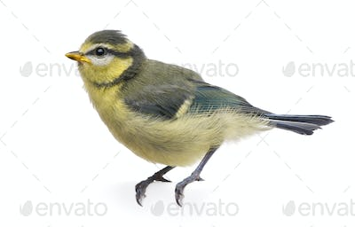 Blue Tit, 23 days old, perched against white background