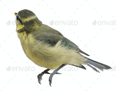 Young Blue Tit, Cyanistes caeruleus, 23 days old, in front of white background