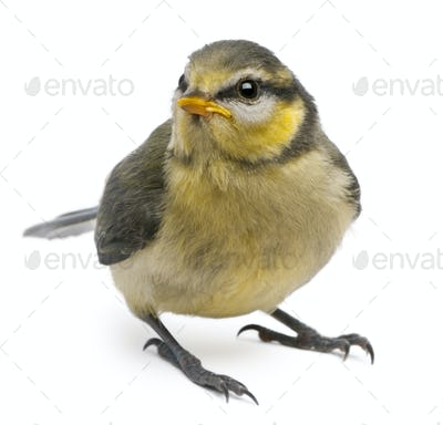 Blue Tit, Cyanistes caeruleus, 23 days old, standing in front of white background