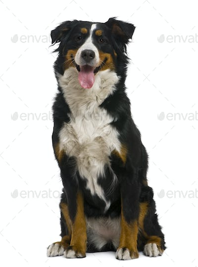 Bernese mountain dog, 18 months old, in front of white background