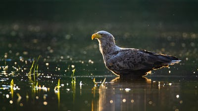 Sunlit white-tailed eagle wading in shallow water in summer at sunset