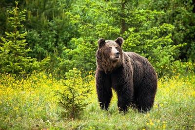 Majestic brown bear male looking away in springtime