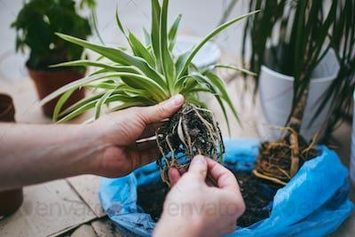 Transplanting plants into new pot