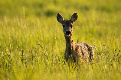 Alert roe deer doe looking into camera and standing in tall grass at sunrise