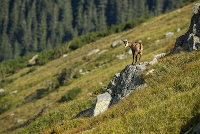 Energetic tatra chamois looking down from a rocky cliff it climbed in mountains