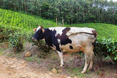A Holstein cow in Kolukkumalai Tea plantations in Munnar, Kerala, India