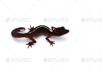 The cat gecko isolated on white background