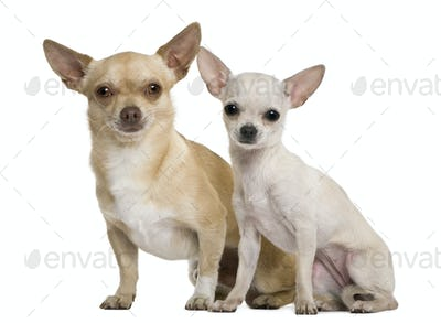 Two chihuahuas, 2 years and 7 months old, in front of white background