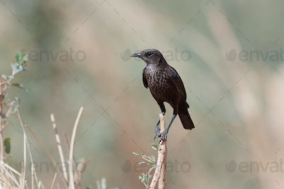 Northern anteater-chat (Myrmecocichla aethiops)