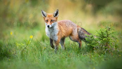 Curious red fox approaching on a glade with green grass and small spruce tree