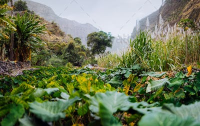 Santo Antao. Cape Verde. Lotus plants in lush green valley on the bottom of a mountain