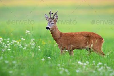 Interested roe deer buck standing in idyllic green summer nature