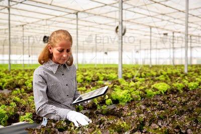 Female agronomist analyzing salad plants in modern greenhouse