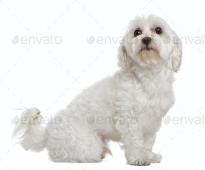 Maltese, 6 years old, in front of white background