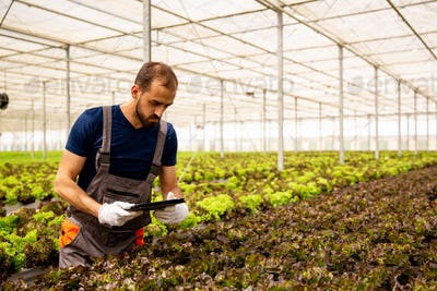 Young agronomist analyzes salad plants and looks at the tablet