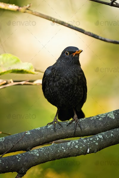 Alert male common blackbird sitting on a branch in autumn nature from front