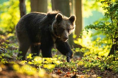 Dangerous brown bear walking in summer nature at sunrise