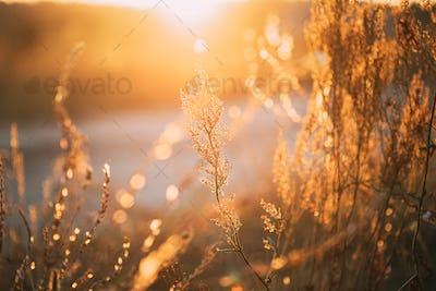 Close Up Summer Dry Autumn Grass In Sunset Sunrise Sunlight