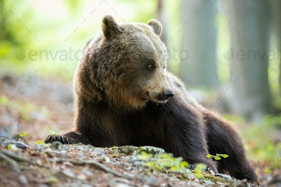 Tranquil brown bear lying down and looking behind on spring forest