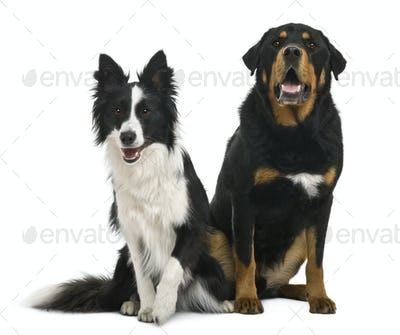 Mixed-breed 5 years old and border collie, 18 months old, in front of white background