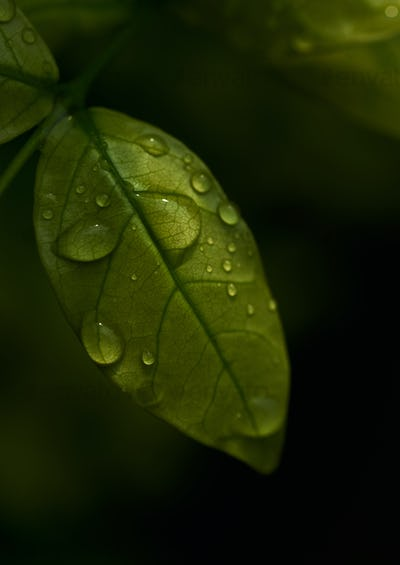 Close-up view of the wet leaf on a rainy day