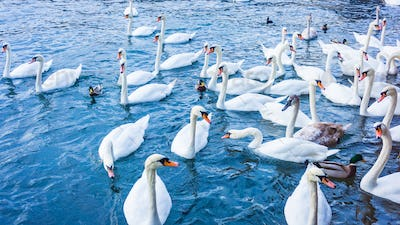 White swans  swimming in sea water in winter