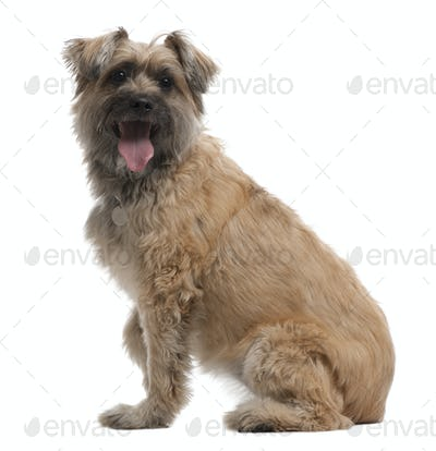 Pyrenean Shepherd, 8 years old, sitting in front of white background