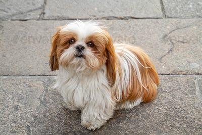 Sitting Shih tzu dog
