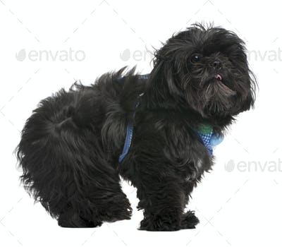 Shih Tzu, 5 years old, standing in front of white background