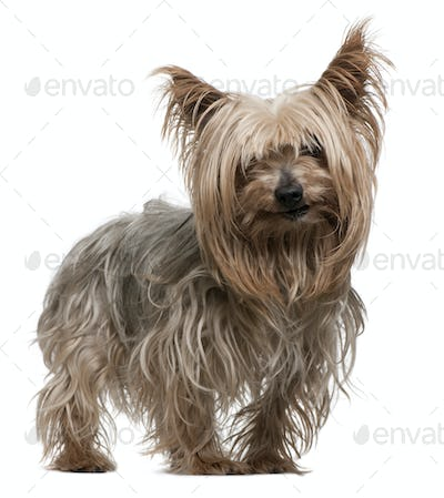 Yorkshire Terrier, 10 years old, standing in front of white background