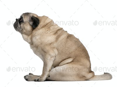 Old Pug, 10 years old, sitting in front of white background