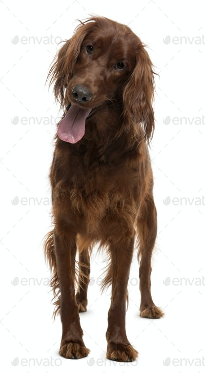 Irish Setter, 2 years old, standing in front of white background