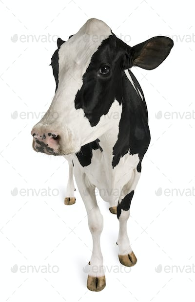 Holstein cow, 5 years old, standing against white background