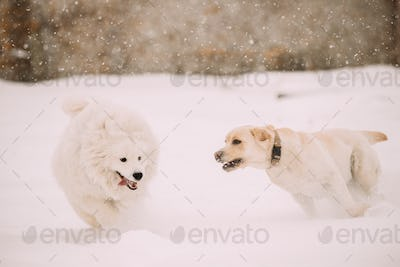Two Funny Dogs - Labrador Dog And Samoyed Playing And Running Outdoor In Snow, Winter Season