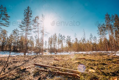 Fallen Tree Trunks In Deforestation Area. Pine Forest Landscape In Sunny Spring Day. Green Forest