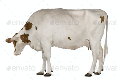 Holstein cow, 4 years old, standing in front of white background