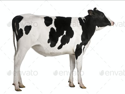 Holstein cow, 13 months old, standing against white background