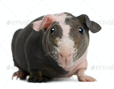 Hairless Guinea Pig in front of white background