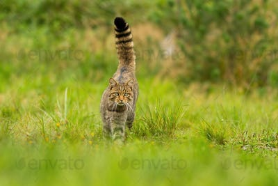 Curious european wildcat hunting with tail held high up on summer meadow